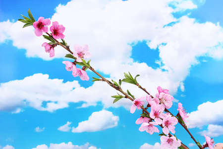 beautiful pink peach blossom on blue sky background photo