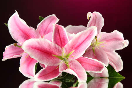 beautiful lily, on pink background