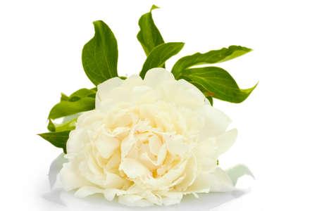 beautiful peony isolated on white photo