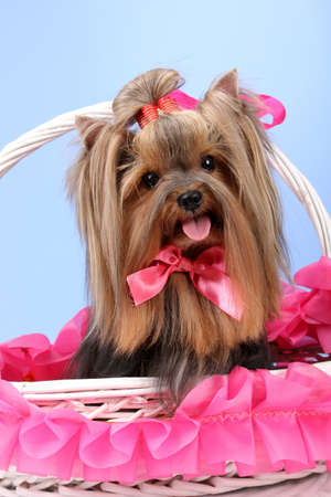 Beautiful yorkshire terrier in basket on colorful background photo