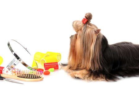 Beautiful yorkshire terrier with grooming items isolated on white photo