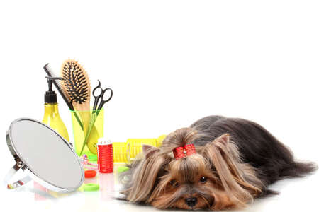 Beautiful yorkshire terrier with grooming items isolated on white Stock Photo - 14994676