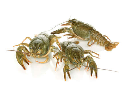 Alive crayfishes isolated on white background photo