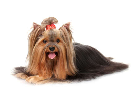 Beautiful yorkshire terrier isolated on white Stock Photo