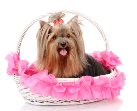 a frill: Beautiful yorkshire terrier in basket isolated on white