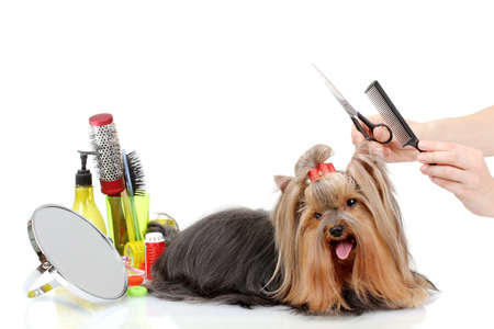 Grooming the yorkshire terrier isolated on white Stock Photo - 15151095