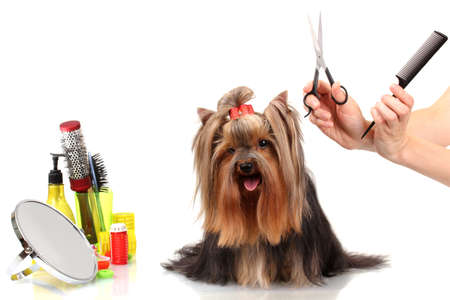 Grooming the yorkshire terrier isolated on white Stock Photo - 15150584