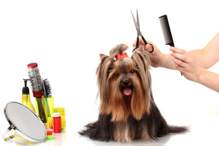 pet grooming: Grooming the yorkshire terrier isolated on white