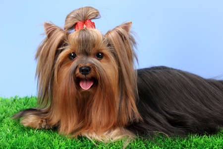 Beautiful yorkshire terrier on grass on colorful background photo
