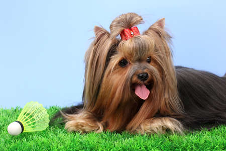 Beautiful yorkshire terrier with lightweight object used in badminton on grass on colorful background photo