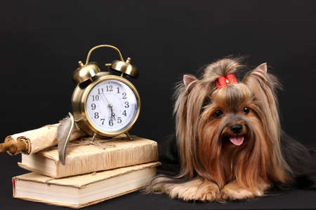 Beautiful yorkshire terrier surrounded by antiques on black background photo