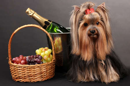 Beautiful yorkshire terrier on colorful background photo