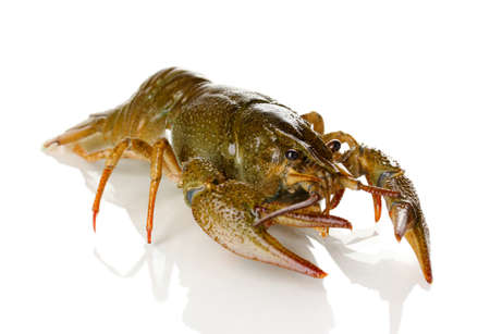 Alive crayfish isolated on white close-up photo