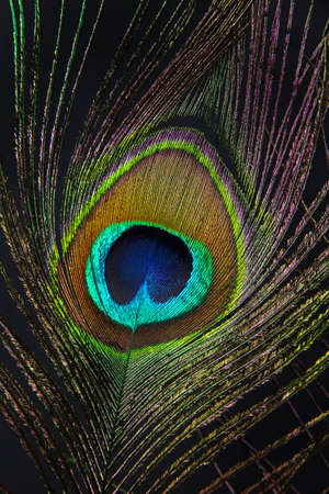 Peacock feather on black background photo