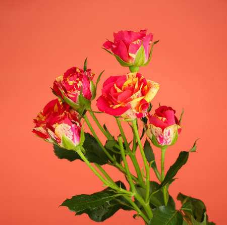 Beautiful red-yellow roses on red background close-up photo