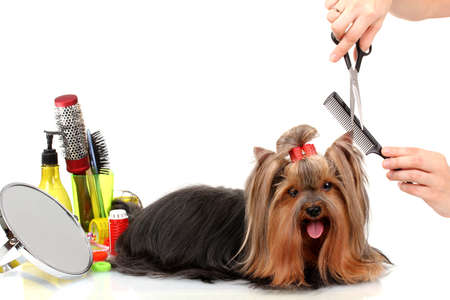 Grooming the yorkshire terrier isolated on white Stock Photo - 15282665