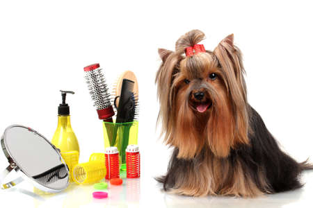 pet grooming: Beautiful yorkshire terrier with grooming items isolated on white Stock Photo