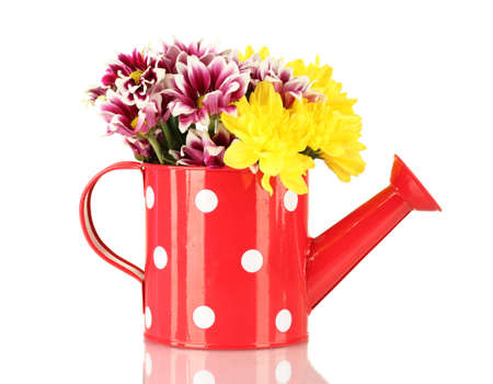 colorful chrysanthemums in red watering can with white polka dot isolated on white photo