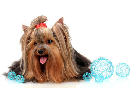 Beautiful yorkshire terrier with blue decorative balls isolated on white photo