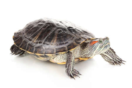 laziness: red ear turtle isolated on white