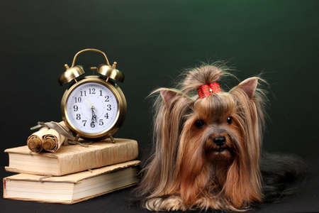Beautiful yorkshire terrier surrounded by antiques on colorful background photo