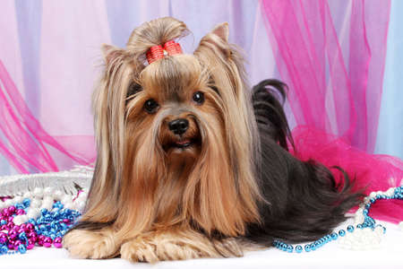 Hermoso yorkshire terrier en fondo de la tela photo