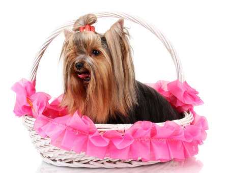Beautiful yorkshire terrier in basket isolated on white photo
