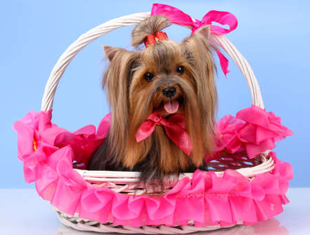 terriers: Beautiful yorkshire terrier in basket on colorful background