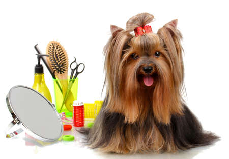 grooming: Beautiful yorkshire terrier with grooming items isolated on white Stock Photo
