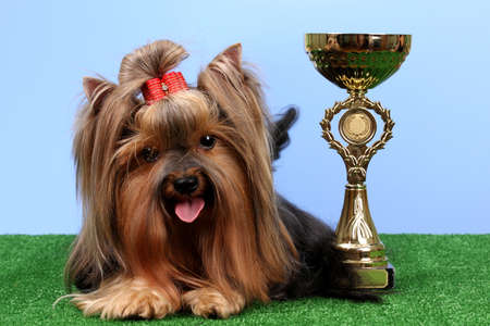 Beautiful yorkshire terrier with prize on grass on colorful background photo