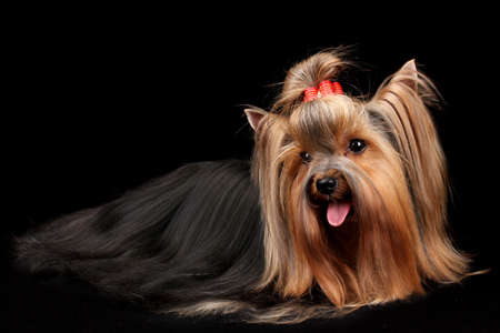 Hermosa yorkshire terrier sobre fondo negro photo