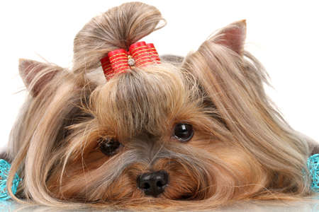 Hermosa yorkshire terrier con bolas azules decorativos aislados en blanco photo