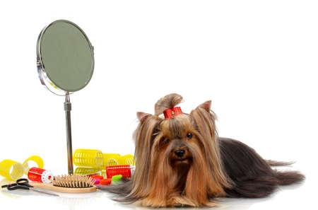 barrettes: Bella yorkshire terrier con strigliatura isolato su bianco Archivio Fotografico