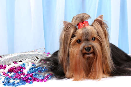 Beautiful yorkshire terrier on background fabric photo
