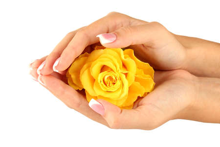 Yellow rose with hands on white background Stock Photo - 15455940