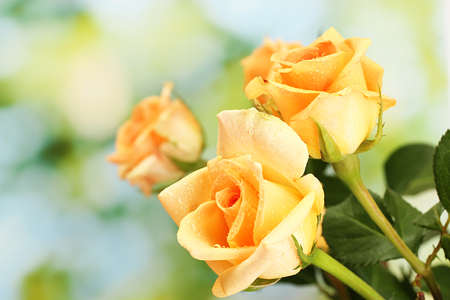 orange rose: beautiful bouquet of roses on green background