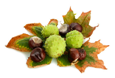 Chestnuts with autumn dried leaves, isolated on white Stock Photo - 15601045