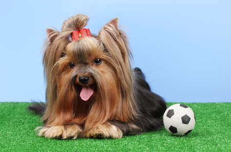 Beautiful yorkshire terrier with football on grass on colorful background photo
