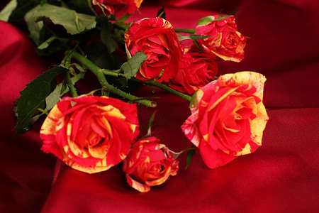 Beautiful red-yellow roses on red satin close-up photo