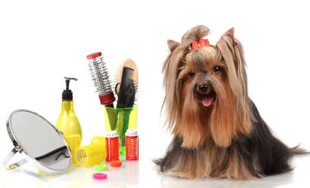 Beautiful yorkshire terrier with grooming items isolated on white Stock Photo - 15663345