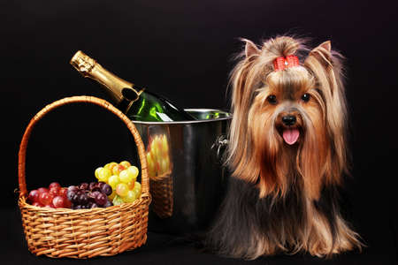 stylishly: Beautiful yorkshire terrier on colorful background