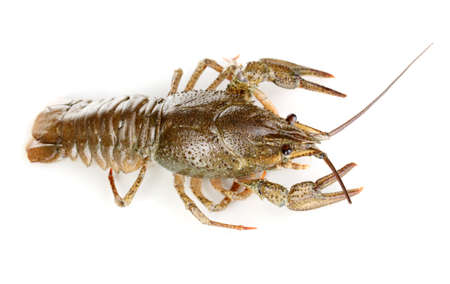 green crawfish isolated on white close-up photo