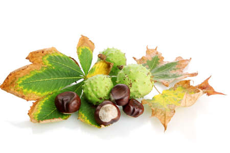 Chestnuts with autumn dried leaves, isolated on white Stock Photo - 15764940