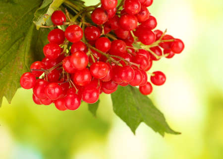 guelder rose berry: branch of ripe viburnum on bright green background close-up
