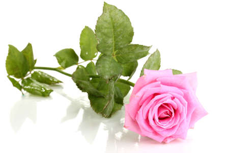 pink and green: Beautiful pink rose isolated on white