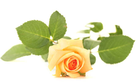 orange rose: beautiful rose isolated on white