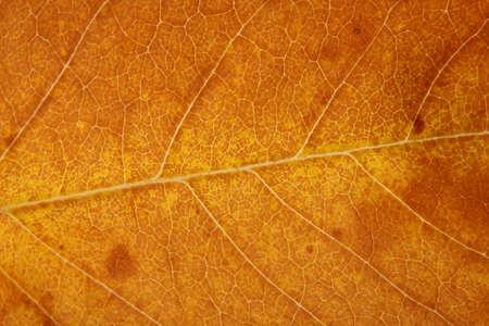 gold colour: bright autumn leaf, close up