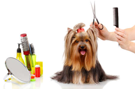 grooming dog: Grooming the yorkshire terrier isolated on white