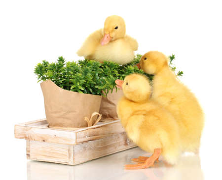 Duckling and bushes isolated on white photo
