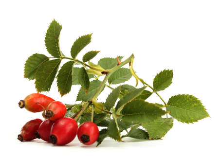 wild rose: ripe hip roses on branch with leaves, isolated on white